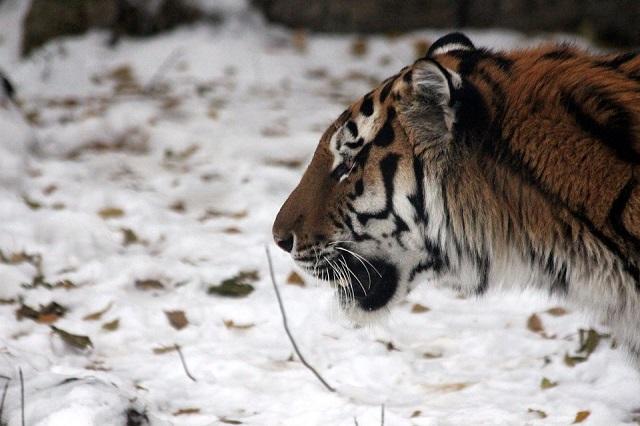 Житель Хабаровского края застрелил амурского тигра