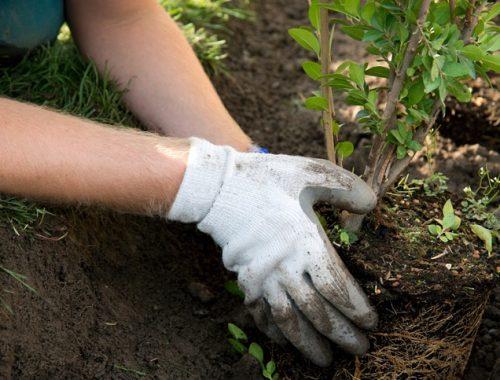 Завтра в Биробиджане высадят 118 деревьев