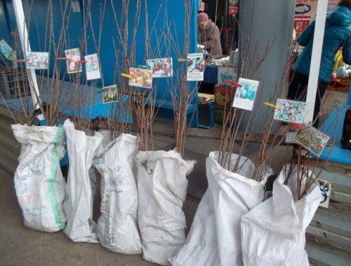 Саженцы сомнительного качества предлагают покупателям на биробиджанском рынке