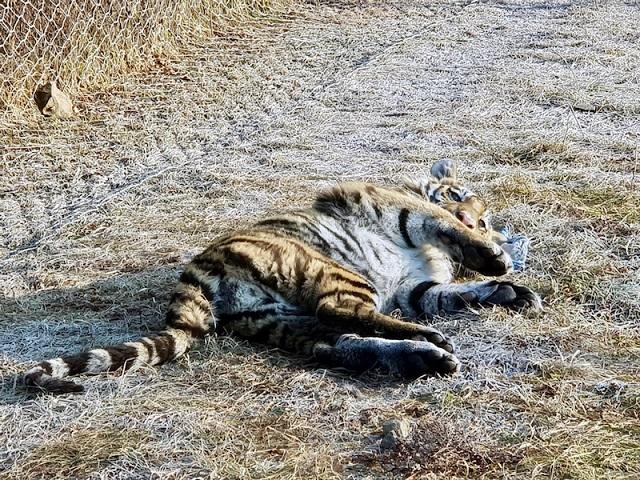 Тигров Павлика и Елену выпустят на волю рядом с границей ЕАО