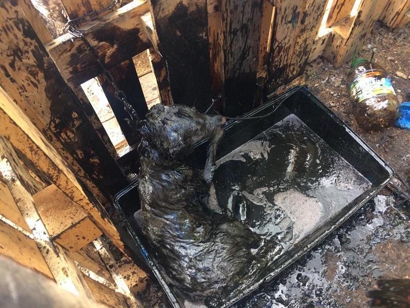 Три часа и тридцать литров масла: как волонтеры отмывали провалившуюся в битум собаку
