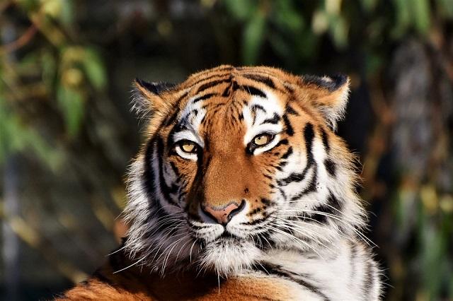 В Еврейской автономии насчитали 15 амурских тигров