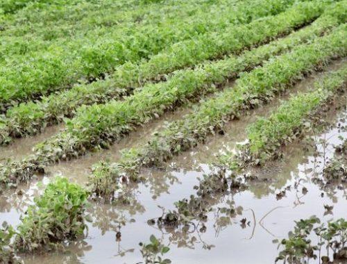 Соевые поля в ЕАО затопило по вине арендатора