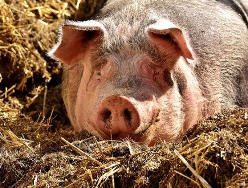 Час от часу не легче: новый очаг чумы свиней зарегистрирован в ЕАО