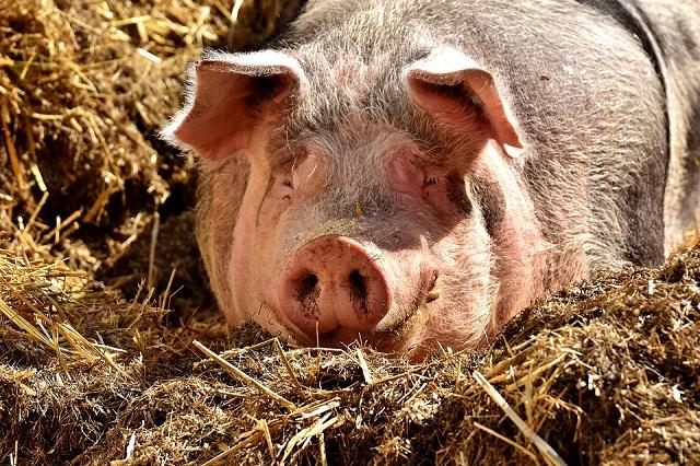 Вирус африканской чумы свиней обнаружен в ЕАО