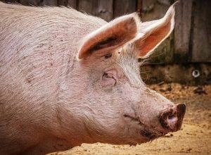 Свыше 300 голов свиней уничтожат в ЕАО из-за африканской чумы
