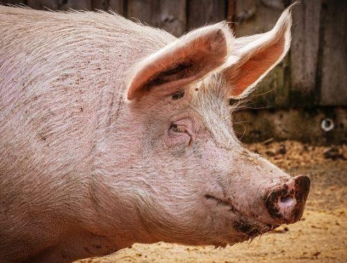 Жители ЕАО получили компенсацию за уничтоженных свиней