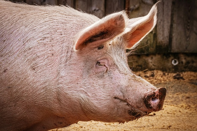 Отменен карантин по африканской чуме свиней в Октябрьском районе ЕАО