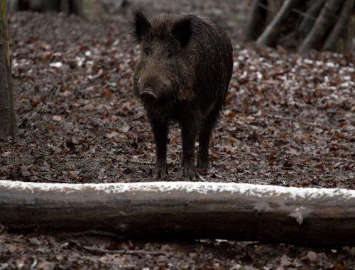 Отстреливать диких кабанов начали в ЕАО для борьбы с чумой свиней