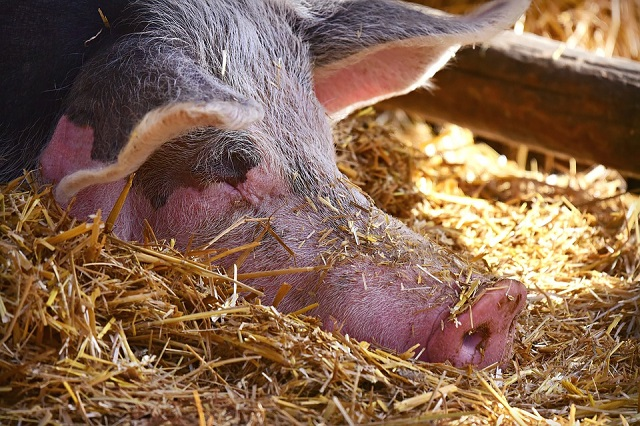 Число очагов африканской чумы свиней в ЕАО увеличилось до восьми
