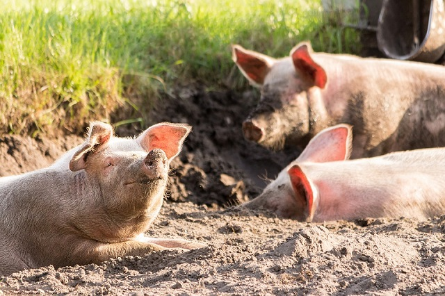 Свыше 600 свиней уничтожат в ЕАО из-за африканской чумы