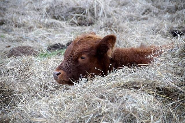 В ЕАО будут судить гражданина Таджикистана за серию краж скота у фермеров
