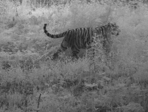 В ЕАО родились тигрята: мамой стала тигрица из Лазо