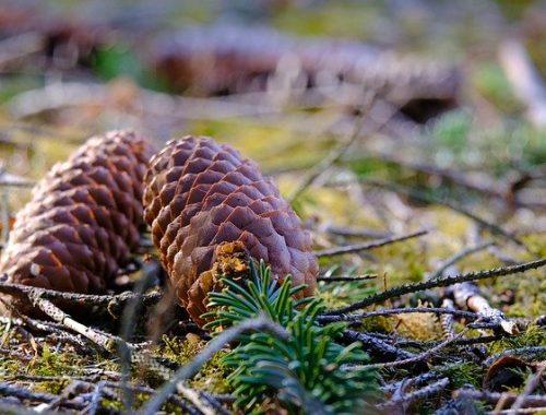В ЕАО приняли закон о сборе кедрового ореха