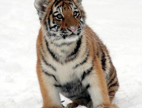 Еще три амурских тигра родились в ЕАО