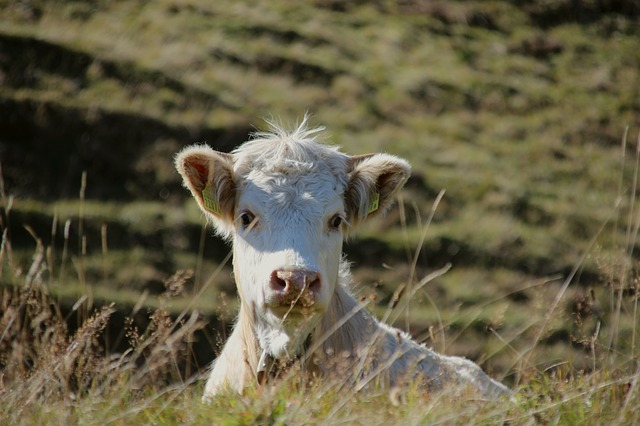 Крупный рогатый скот активно чипируют в ЕАО