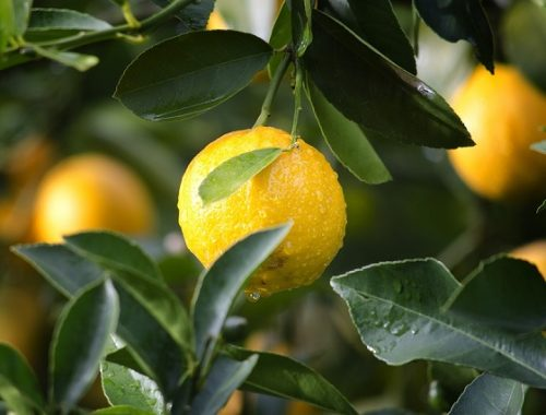 ФАС проверит сети, торгующие лимонами