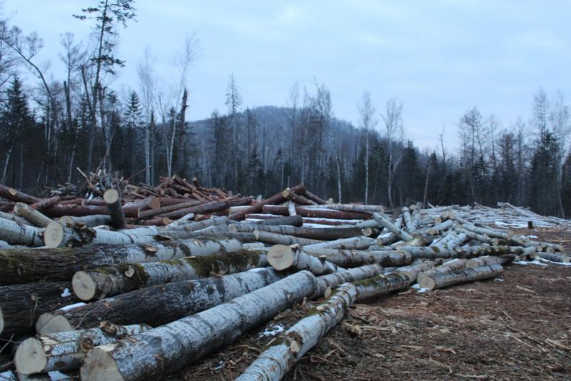 На тюремный срок нарубили деревьев работники организации в ЕАО