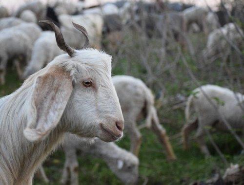Поголовье свиней, птиц, овец и коз сократилось в ЕАО