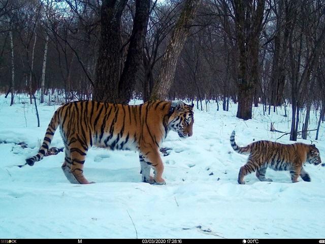 Специалистам пришлось поволноваться за тигрицу из ЕАО