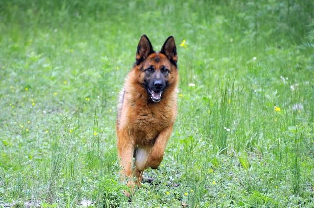 Собачья работа: 15 четвероногих полицейских несут службу в ЕАО