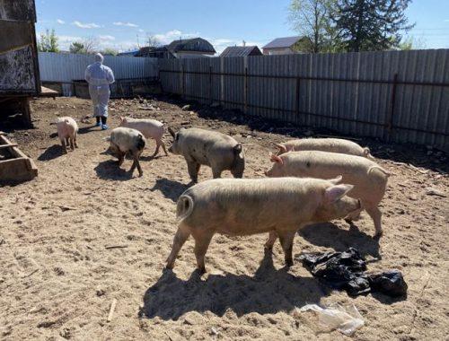 Владельца свиней привлекли к ответственности в Биробиджане