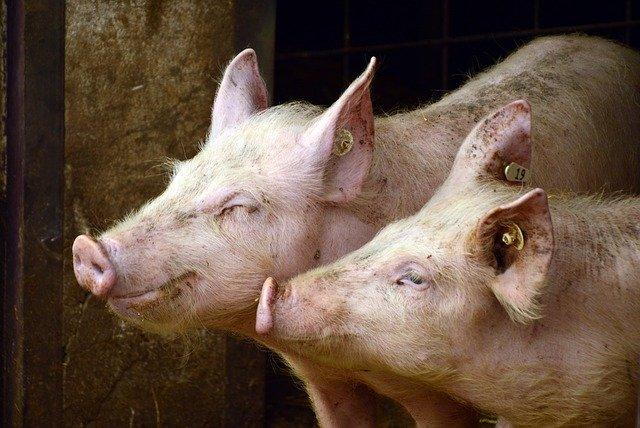 Вспышку чумы свиней пытаются предотвратить в Биробиджане