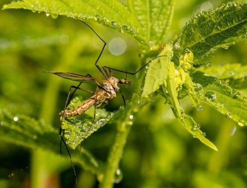 В атаку: комары активизировались в Биробиджане
