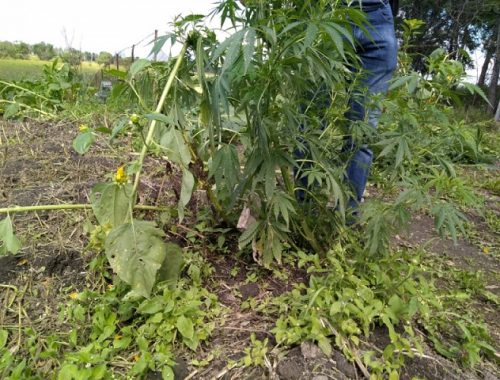 Вырастил целый огород конопли 70-летний житель ЕАО
