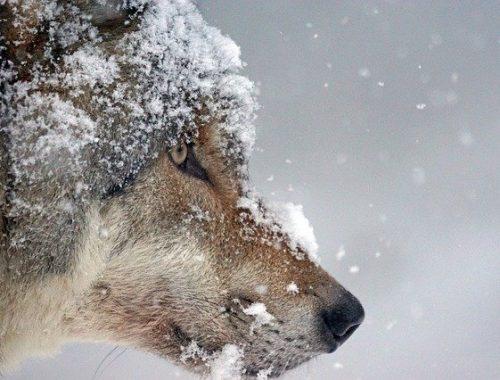 Волчица напала на человека, загрызла собак и покусала лошадь в ЕАО