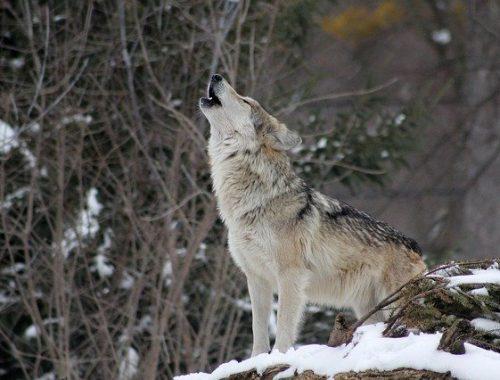 Напавшая на жителя ЕАО волчица была больна бешенством