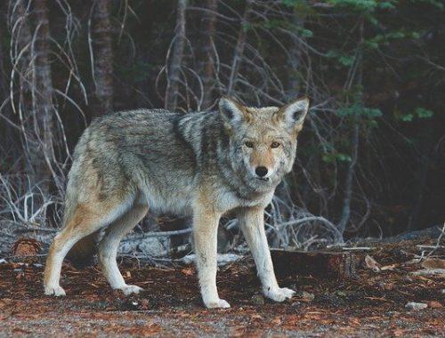 Появлением волчицы в селе Новотроицком ЕАО заинтересовалась прокуратура