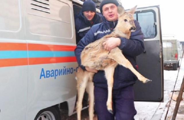 Спасенная в Биробиджане косуля отправилась в Приморье