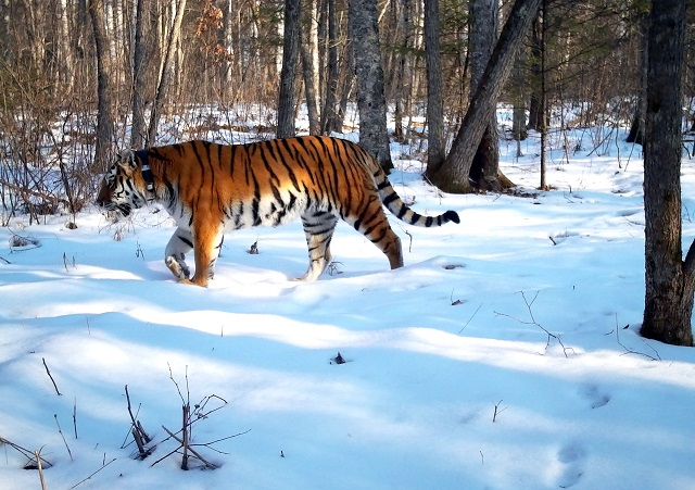 Новостями о жизни тигров в ЕАО поделились специалисты