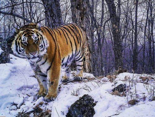 «Президентского» тигра Бориса уже полгода не видели в ЕАО