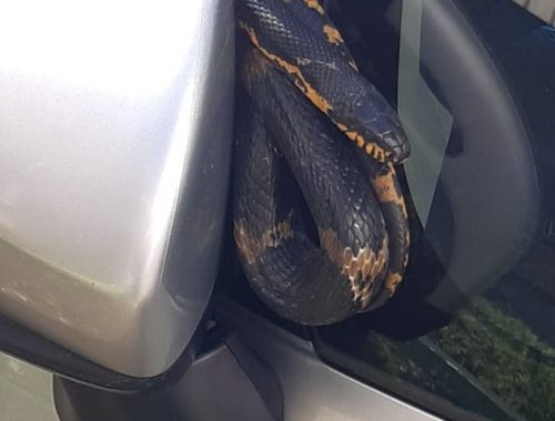 Змея забралась на автомобиль биробиджанца