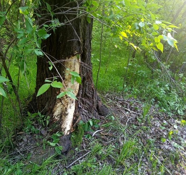 Водитель-лихач врезался в дерево на лесной дороге в Биробиджане
