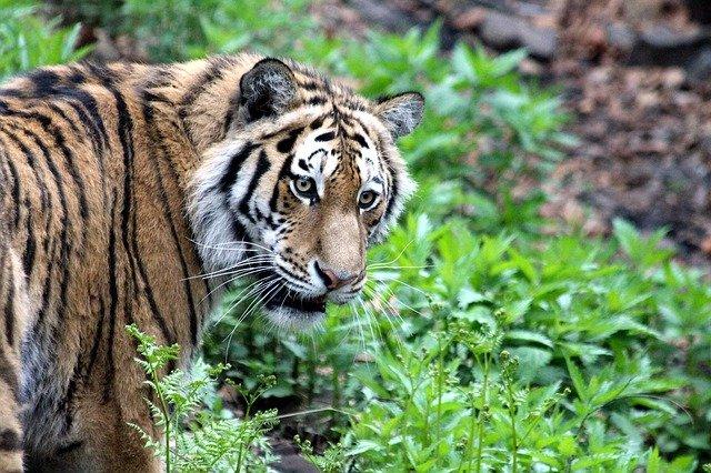Заявки на выпуск новых тигров отклоняют в ЕАО