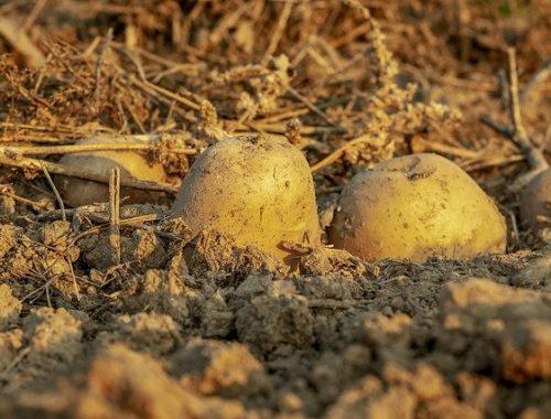 Картофельная моль может угрожать посадкам картофеля в ЕАО